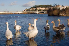 Geese at Badajoz Downtown Royalty Free Stock Image