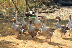 Geese in a barnyard. A group of eight geese stroll through farm barnyard.  These are tame geese raised for meat and eggs Royalty Free Stock Photography