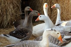 Geese in a Barnyard. Flock of Geese in a Barnyard royalty free stock photography