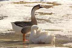 Geese Bathing In Snow In Golden Light Stock Photography