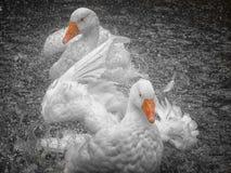 Geese bathing Stock Image