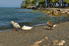 Geese on the beach Stock Photo