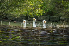 Free Geese Behind Wattled Fence Stock Photos - 78213573