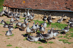Geese being bred for Foie Gras production in Franc. These geese are bred for production of foie gras which is a popular and well-known delicacy in French cuisine Royalty Free Stock Images