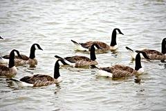 Geese in Bergen op Zoom. These are geese in Bergen op Zoom Netherlands Stock Photos