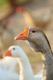 Geese bird Stock Photography