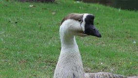 Geese, Birds, Animals, Nature, Wildlife stock video