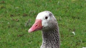 Geese, Birds, Animals, Nature, Wildlife stock video footage