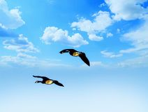 Geese Birds Flying Through The Cloudy Sky Royalty Free Stock Photos