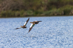Geese Birds Low flying Water stock images