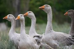 Geese brood Stock Images