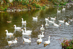 Geese, Cahir, Ireland Stock Image