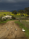 Geese  and Canola Tranquility Stock Images