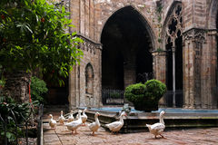 Barselona, Geese in the Cathedral. Geese are walking across the courtyard of the cathedral and wait for handouts from tourists Royalty Free Stock Image