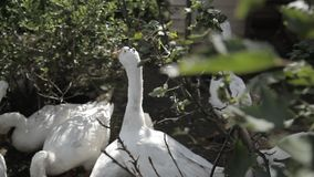 Geese, chickens, turkeys walk in the cage. The wind sways the tree branches. Clear, Sunny weather stock video footage