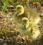 Geese Chicks Stock Photography
