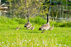 Geese and chicks running Royalty Free Stock Photography
