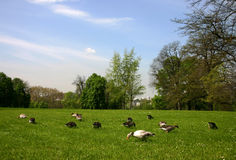 Geese in the city. Flock of graylag geese in a city park royalty free stock images