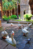 Geese in Cloister of Barcelona Cathedral in the Gothic Quarter. BARCELONA, SPAIN - AUGUST 7, 2010: Geese in Cloister of Barcelona Cathedral in the Gothic Quarter Royalty Free Stock Image
