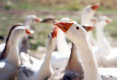 Geese close up Stock Photography