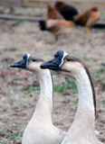 Geese close up Royalty Free Stock Photo