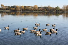 Geese on the Columbia Royalty Free Stock Images
