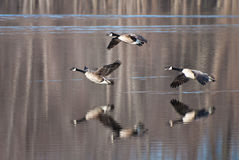 Geese Coming in for a Landing Royalty Free Stock Image