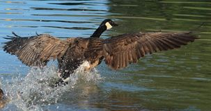 Geese. Coming in for a landing Stock Image