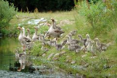 Geese coming to water Royalty Free Stock Image