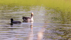 Geese And Coot In Water Stock Photo