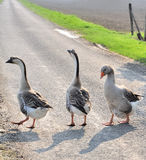 Geese on a country road Stock Images