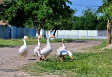 Geese in the countryside Romania  Royalty Free Stock Photos
