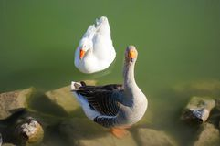 A geese couple in a green pond stock photo