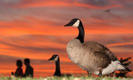 Geese and Couple at Sunset Royalty Free Stock Images
