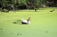 Geese couple swimming in pond covered with tiny green seaweed Royalty Free Stock Photo
