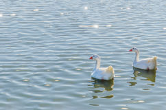 Geese couple swimming in the water. Geese swimming together in a pond. Gander, waterfowl, poultry, domestic avian Stock Images