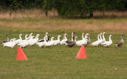 Geese on course Royalty Free Stock Photo