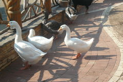 Geese in Crimea Stock Image