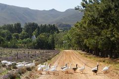 Geese crossing a farm road Stock Photos