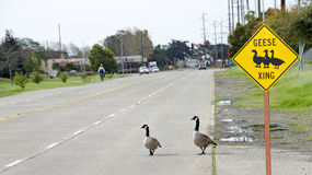 Geese Crossing sign with geese in the road. A hazard to automobile drivers and bicyclists Royalty Free Stock Photos