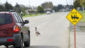 Geese Crossing sign with geese in the road. A hazard to automobile drivers and bicyclists Royalty Free Stock Photo