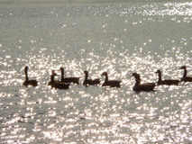 Geese on Diamonds. Geese on sparkling waves Stock Images