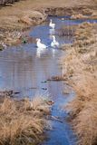 Geese in dirty water Royalty Free Stock Photos