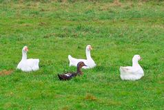 Geese and a drake. White geese and a duck in the grass Stock Images