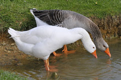 Geese drinking from a pond Royalty Free Stock Photos