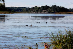 Geese and ducks feeding on the St Lawrence River Stock Images