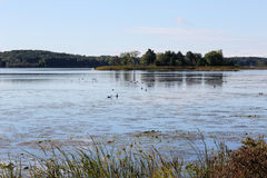 Geese and ducks feeding on the St Lawrence River Stock Photos