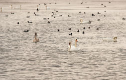 Geese and ducks on the Great Salt Lake in Pomorie, Bulgaria Stock Photo