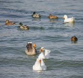 Geese and ducks Royalty Free Stock Image