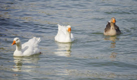 Geese and ducks Royalty Free Stock Images